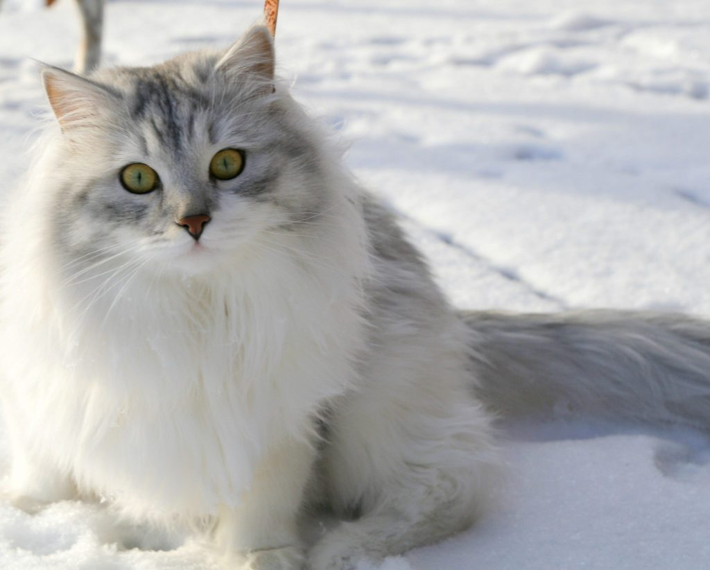 Culture Change Cat-Lovers Will Love Siberian Cats in Eden